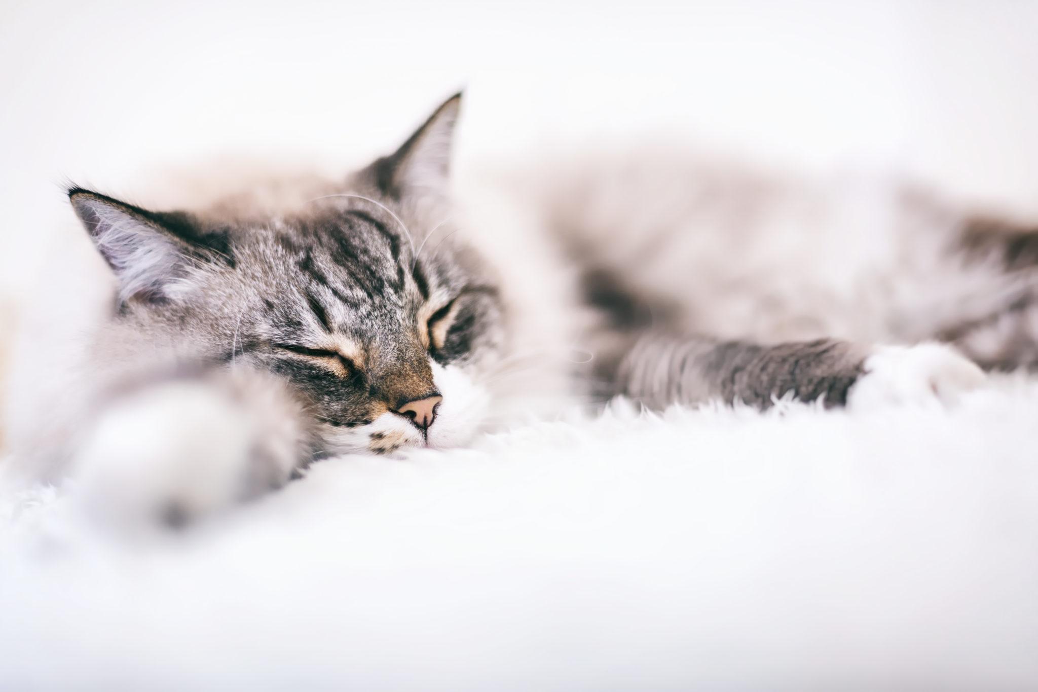 portrait chat animaux de compagnie petshoot eternel present